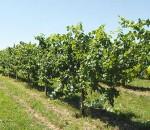 Azienda agricola Piazza A.S.G. - The vineyard